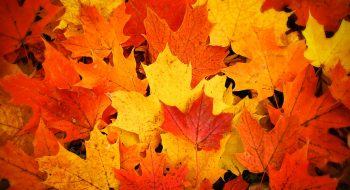 red-yellow-and-orange-fallen-maple-leaves-chantal-photopix